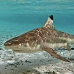 В Тайланде на острове Пхукет не акула, а барракуда напала на человека!